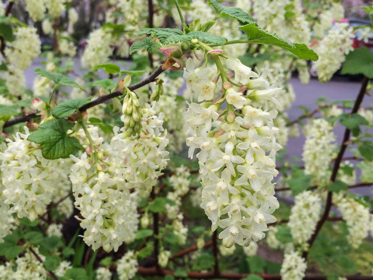 Ribes Sanguineum Ubric Common Name White Icicle Flowering