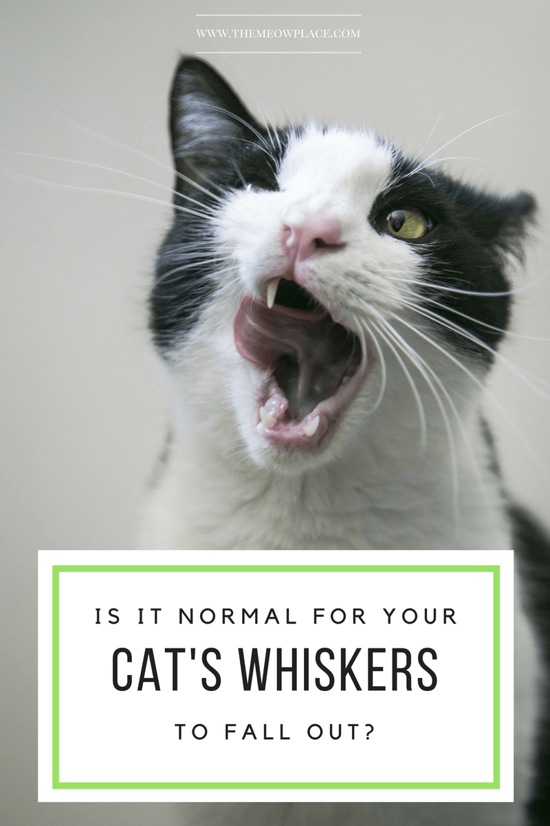 Is It Okay For A Cat S Whiskers To Fall Out Handling Whisker Loss Cat Whiskers Cat Parenting Cats