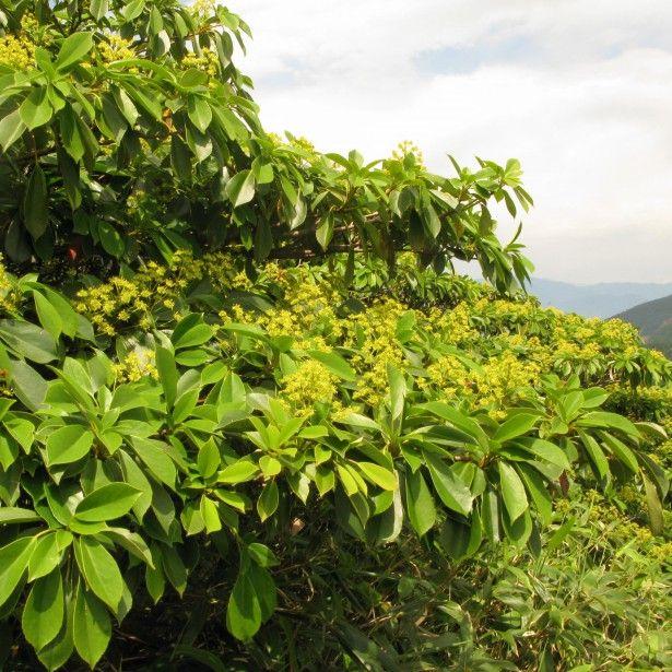 trochodendron aralioides arbre aux roues arbuste feuillage d coratif et persistant. Black Bedroom Furniture Sets. Home Design Ideas
