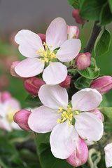 Celebrate Spring At The Shenandoah Apple Blossom Festival