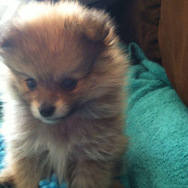 My Pomeranian!