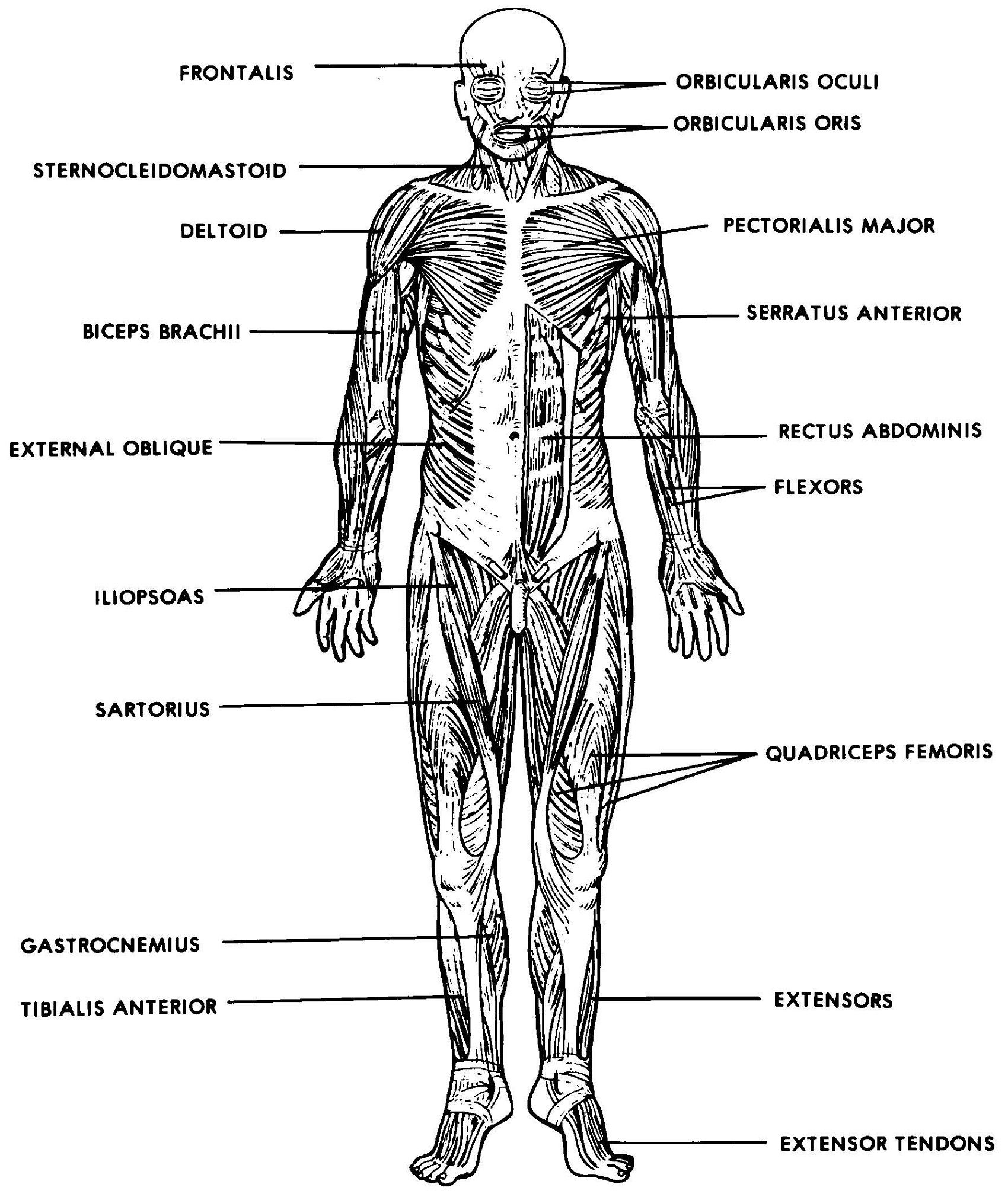 The Muscular System Labeled Human Anatomy Drawing Anatomy