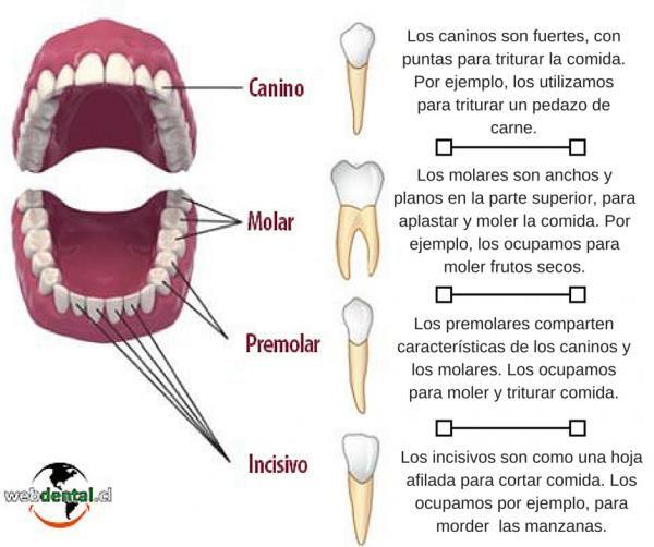 Todas Las Partes De La Dentadura Humana Con Imagenes Escuela De Higiene Dental Dentadura Humana Anatomia Dental