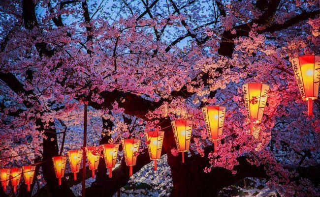 Cerisiers Fleurs Japon National Geographic 6 Sakura Japon Fleur