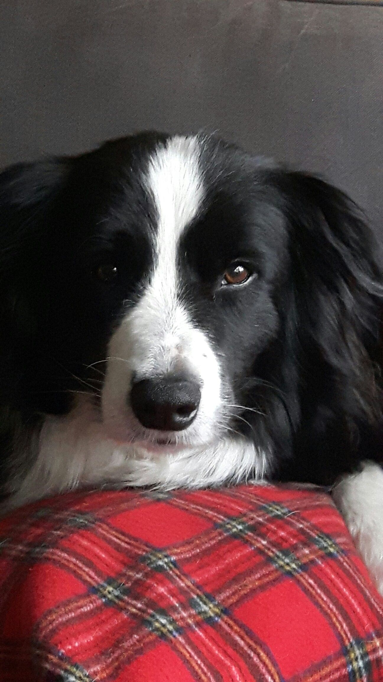 Pin By Eve On Border Collie Border Collie Dog Collie Collie Dog