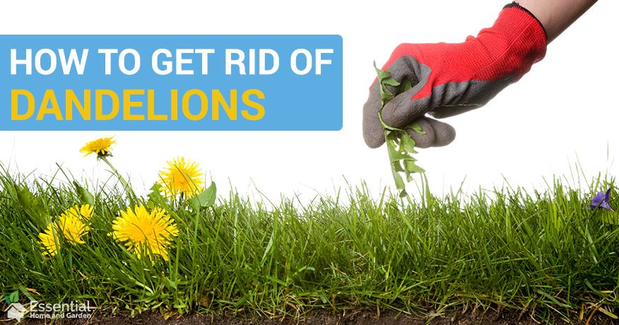 How to get rid of dandelions from your lawn essential