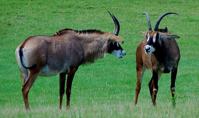 The Roan Antelope Is One Of The Largest Of All African Bovids