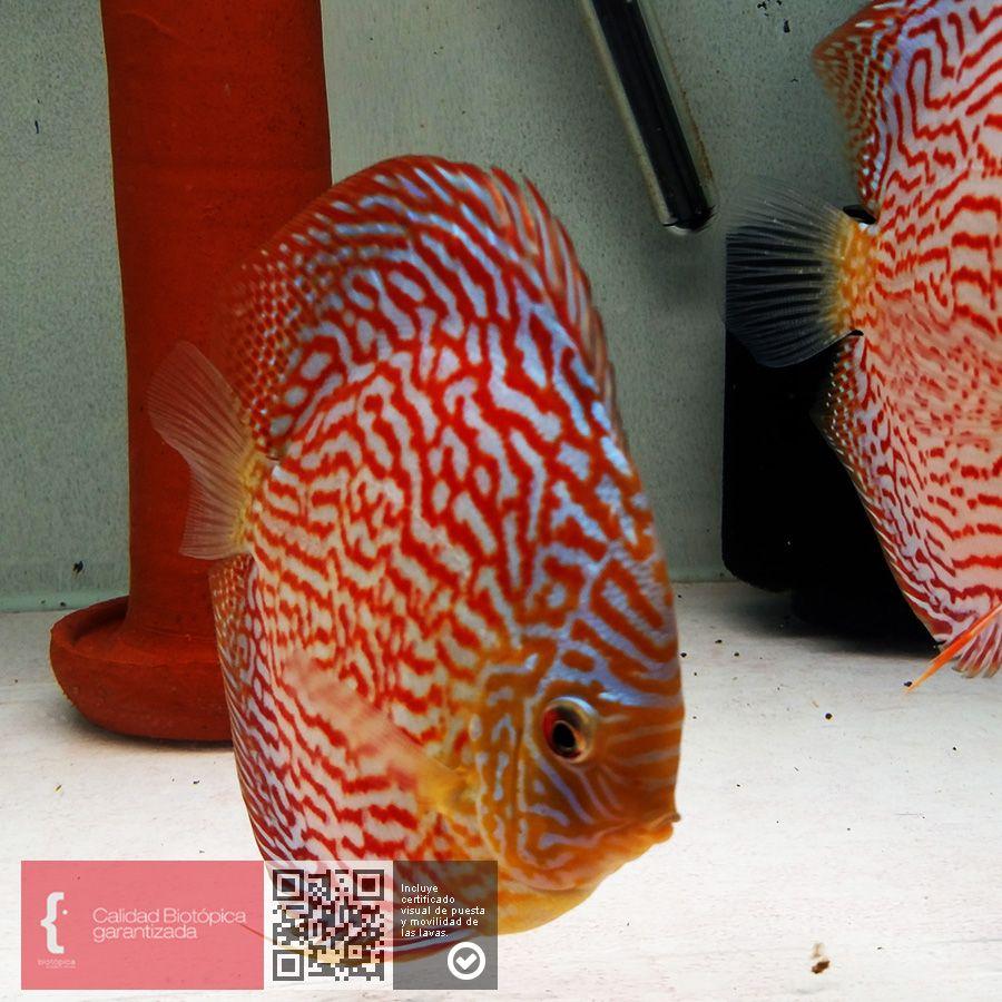 Pin by BARBARVSSA on Guppy Aquarium   Pinterest   Aquariums, Discus ...