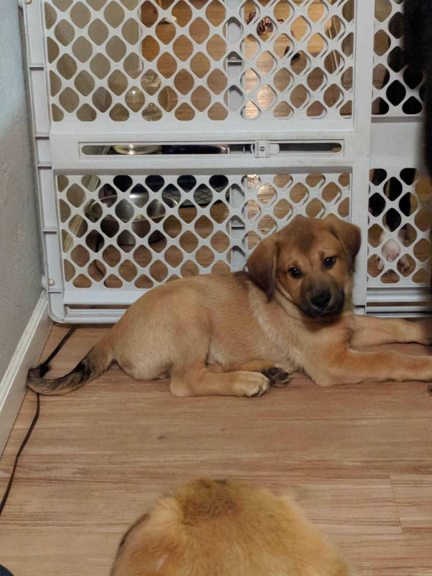 Michael Shepherd Mix Adopted Puppy St Louis Mo German