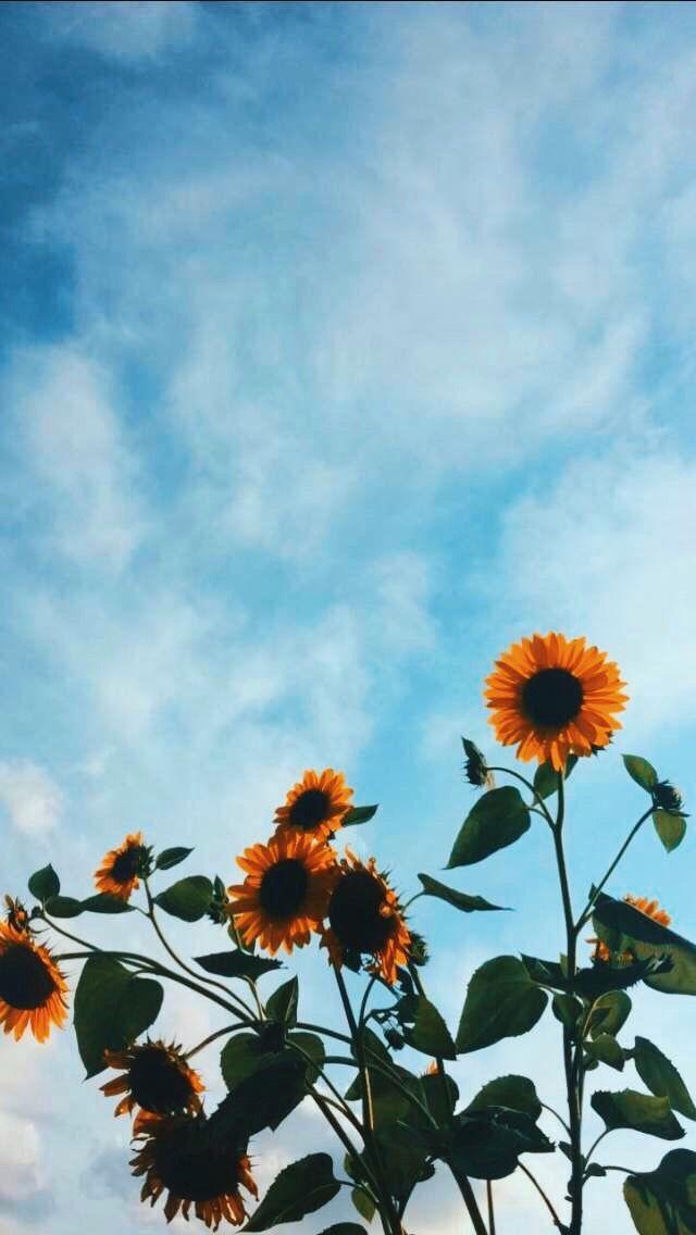 Pin By Abigail Caron On Beautiful Sunflower Wallpaper Flower Iphone Wallpaper Flower Wallpaper