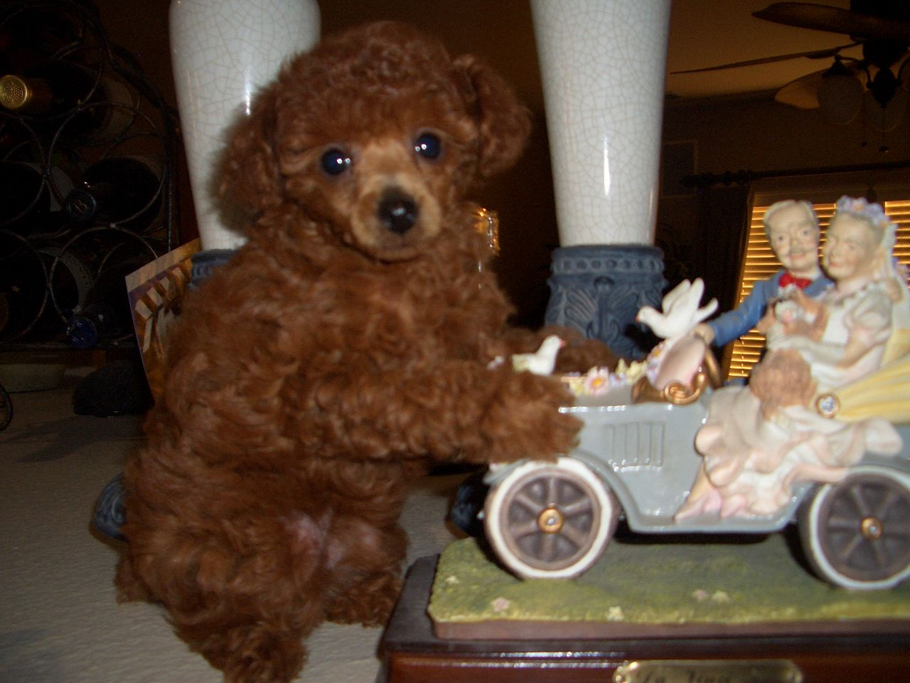 Redlands Poodles Little Baby Red Toy Poodle Puppy First Haircut