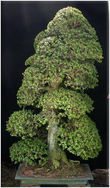 jpb bonsai collection4 kintall portulacaria afra jade bonsai gallery bonsai. Black Bedroom Furniture Sets. Home Design Ideas