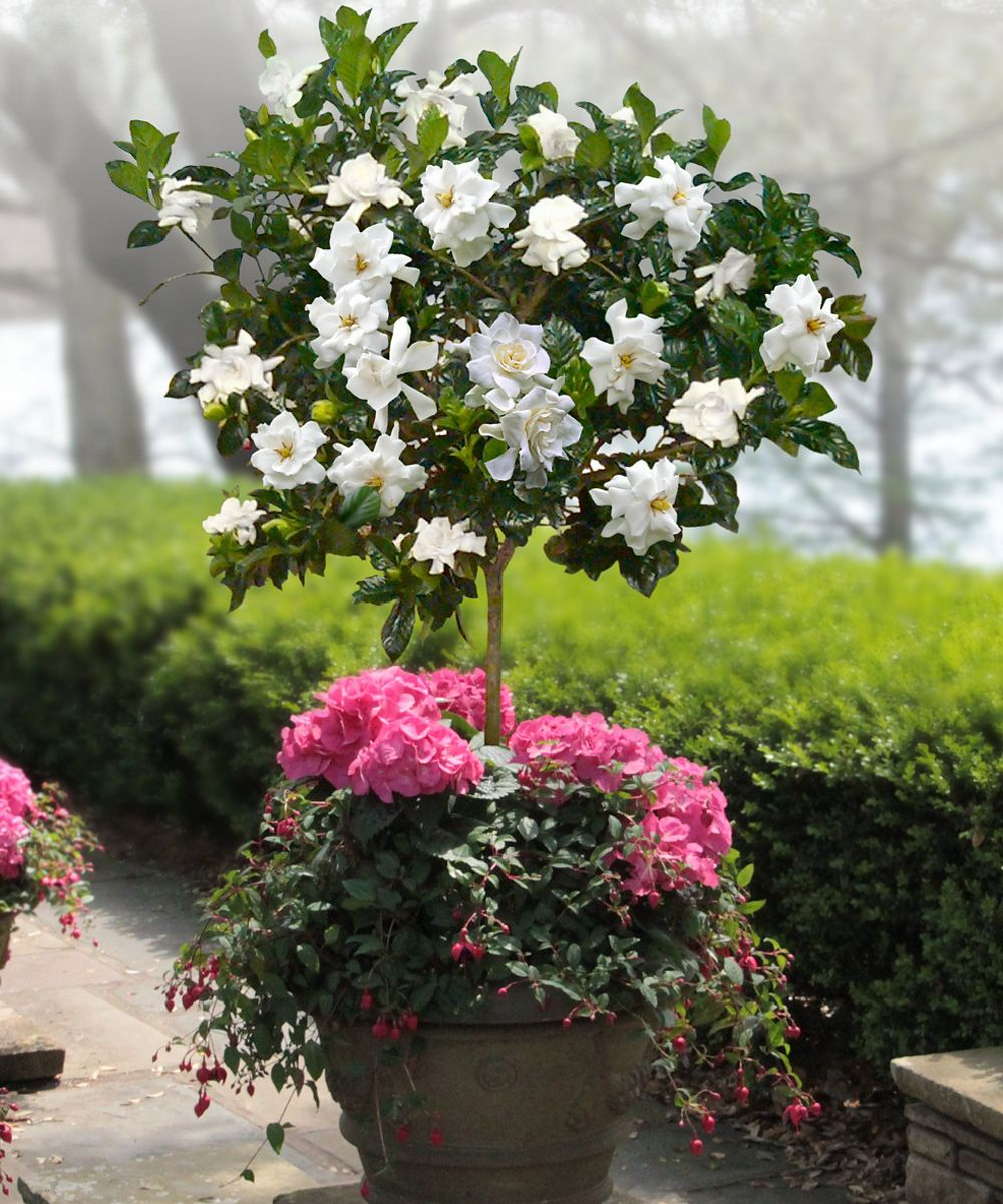love how they planted the gardenia and fuchsia together   Garden ...
