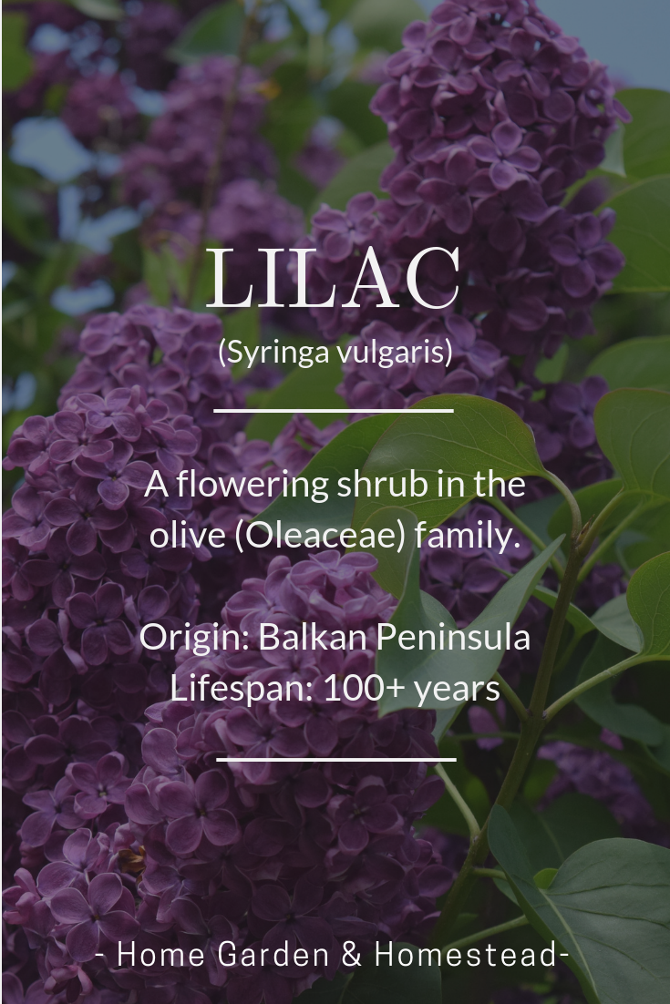 I 3 Lilacs One Of Spring S Most Beautiful An Fragrant Flowers They Re Edible Too Plantfacts Purple Garden Fragrant Flowers Growing Gardens