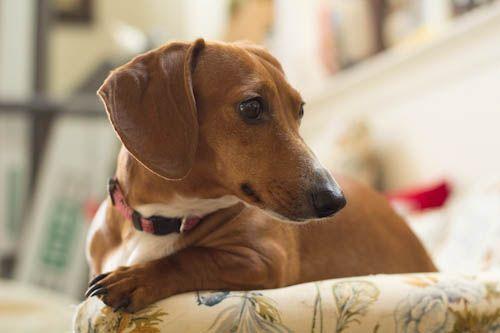 Adopt Daphne Nj On Petfinder Dogs Up For Adoption Dog Adoption Dachshund Dog