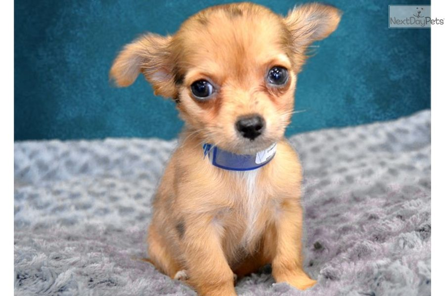 Chihuahua Puppy For Sale Near Inland Empire California 752ea988