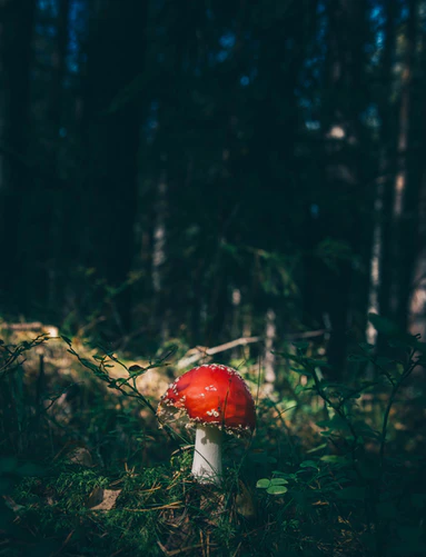 red cap mushroom surrounded by grass in forest photo
