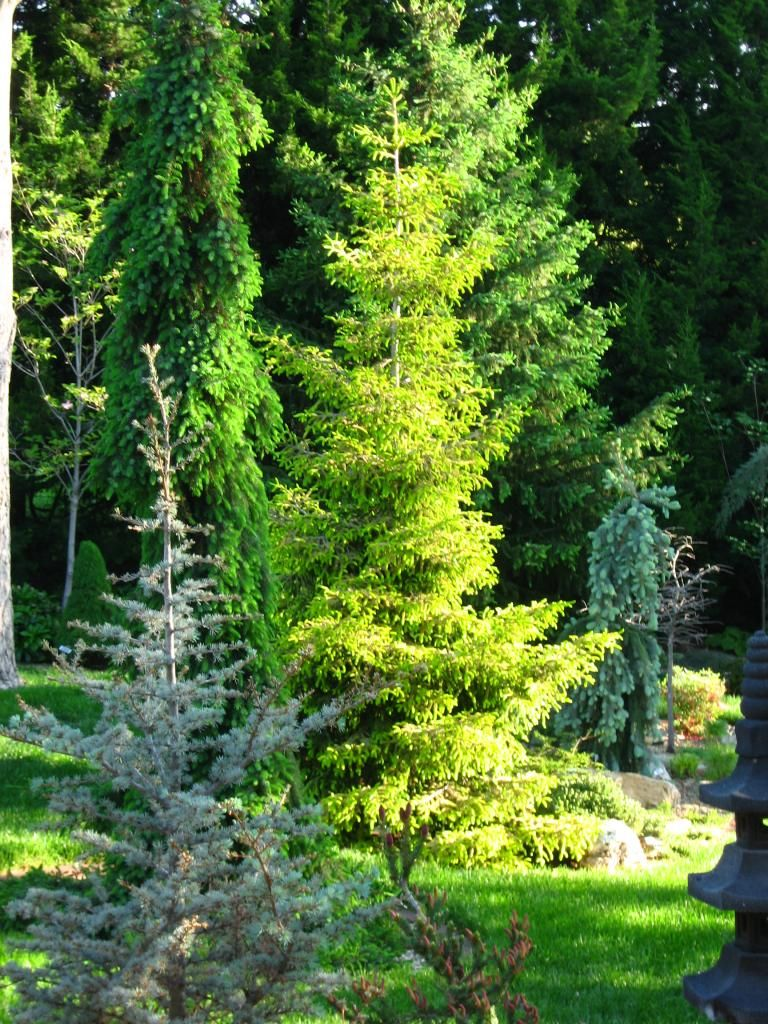 Evergreens For Small Yards Pinterest
