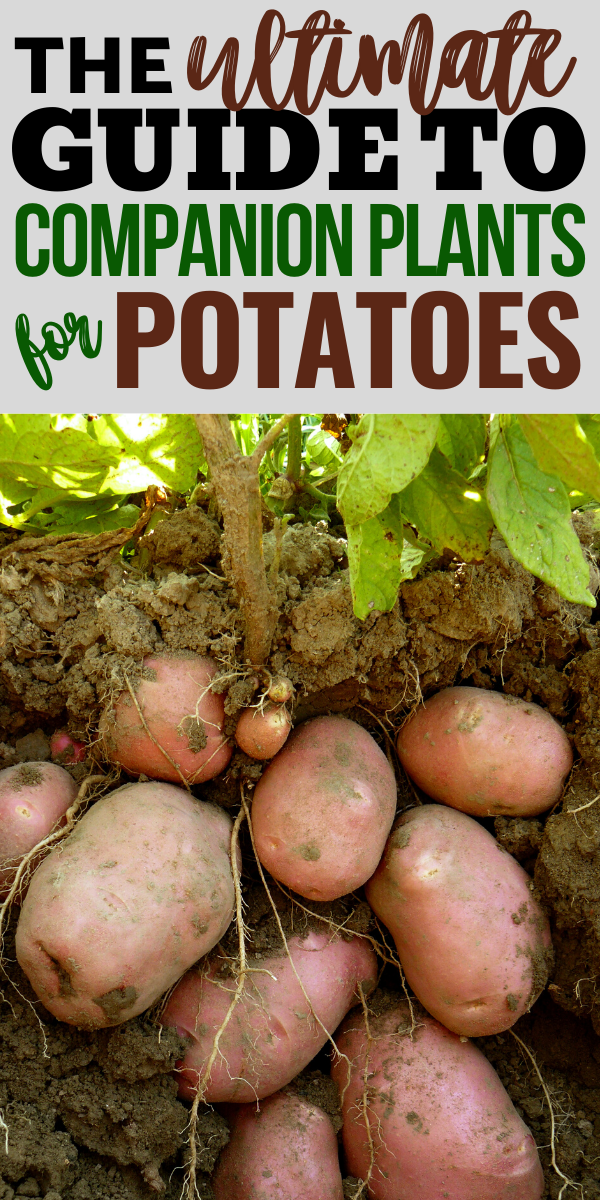 The Best Companion Plants for Potatoes Companion planting can help you create an organic vegetable garden with less pests a better harvest and more flavor Learn what make...