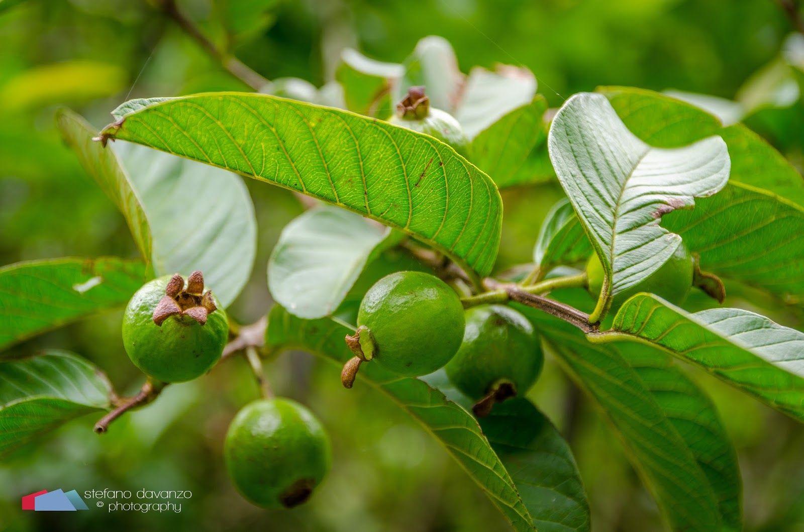 Stefanodav's Shot-Blog: Green Berries... #stefanodav #maui #hawaii #iamnikon #nikonphotography #travel #travelphotography #blogger #beautifulplace #placetovisit #usa #gohawaii