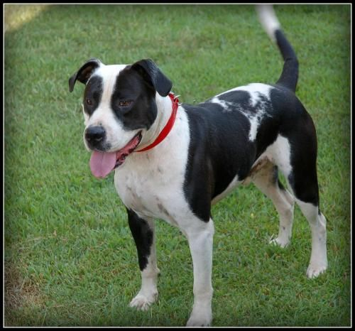 Adopt Sparky Ck On Doggies Great Dane Dogs Dogs Pitbull