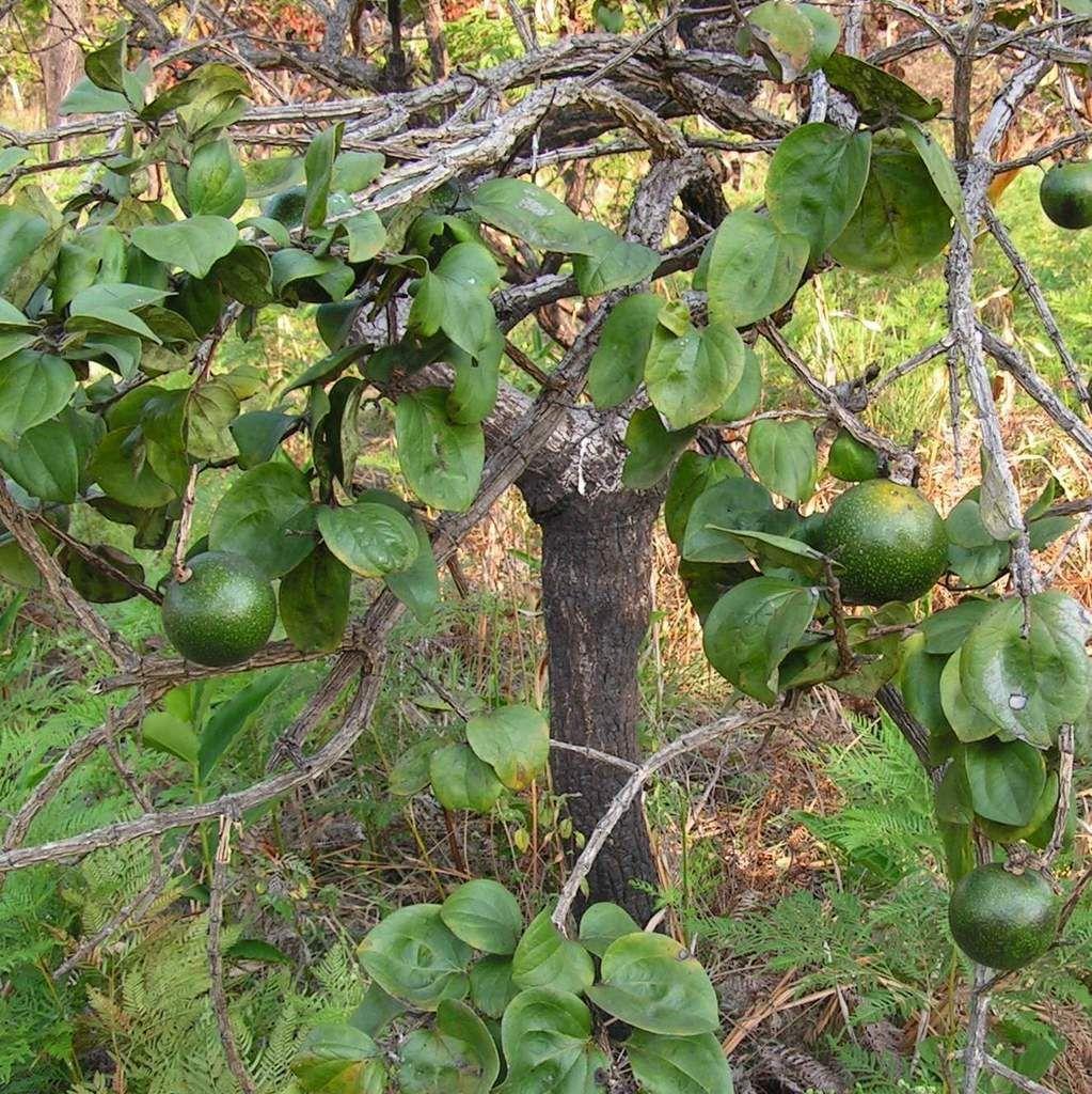 Strychnos Cocculoides Fruit Corky Bark Monkey Orange Kurkbaskler Geelkler