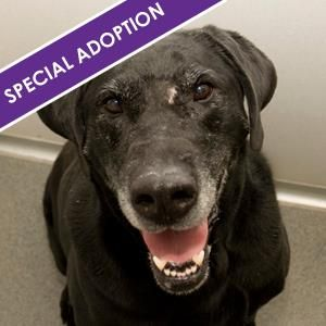 Senior Alert 8 Year Old Sweet Black Lab Female Animal Rescue