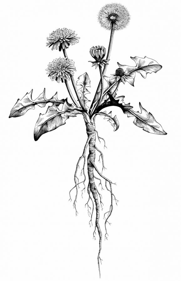 Löwenzahn Pflanze mit Blume Tuschezeichnung | Botanicals | Pinterest ...
