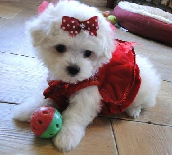 Puppy Gallery Pictures Maltese Dogs Havanese Puppies For Sale