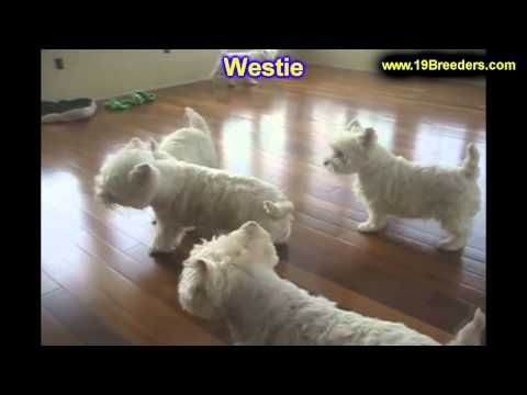 Westie Puppies For Sale In Minneapolis Minnesota Mn Inver Grove Heights Roseville Cottage Youtube Westie Puppies For Sale Westie Puppies Westies