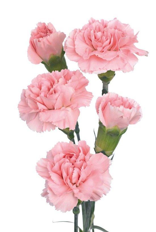 100pcs Pink Carnation Flower Seeds In 2020 Dianthus Flowers Carnation Flower Light Pink Flowers