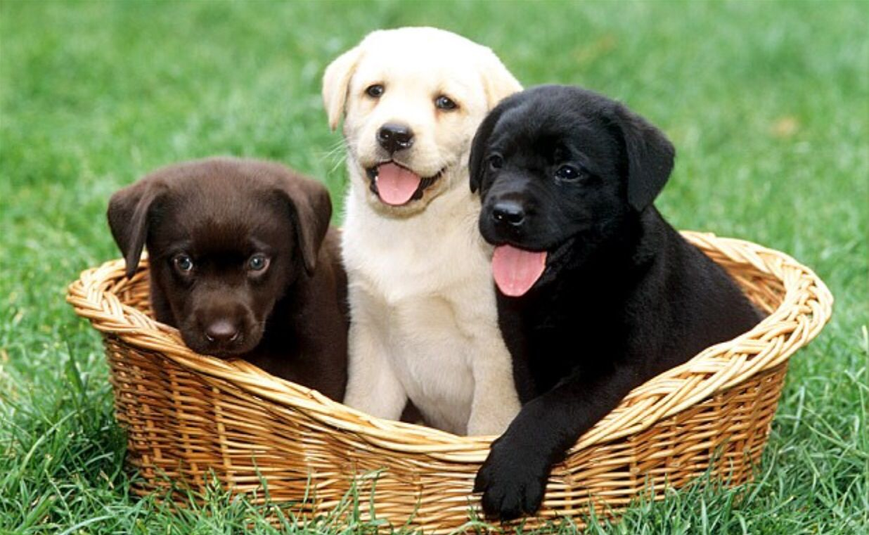 Chocolate Lab, Yellow Lab, Black Lab   Puppies, puppies, and more ... for Cute Yellow Lab Puppy Names  131fsj