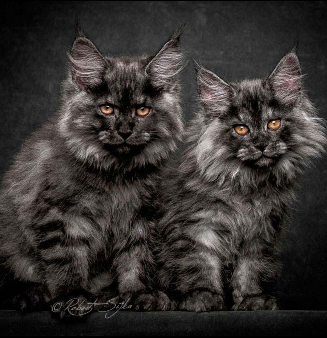 Fluffys Katzen Schone Katze Katzen Fakten