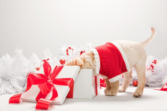 pictures of labs in gift boxes   Labrador puppy looking in christmas gift box RF Stock photo ...