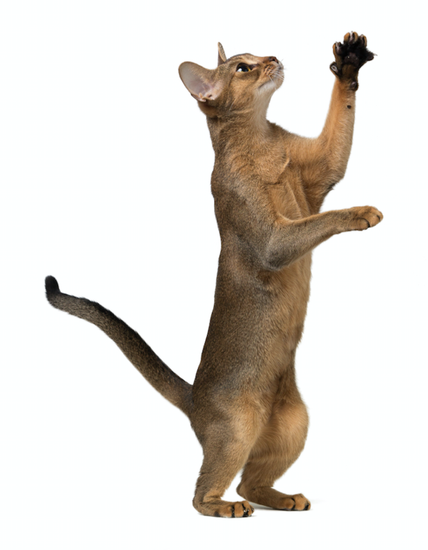 Abyssinian Cat Png