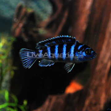 Demasoni Cichlid Pseudotropheus Demasoni Aquarium Freshwater