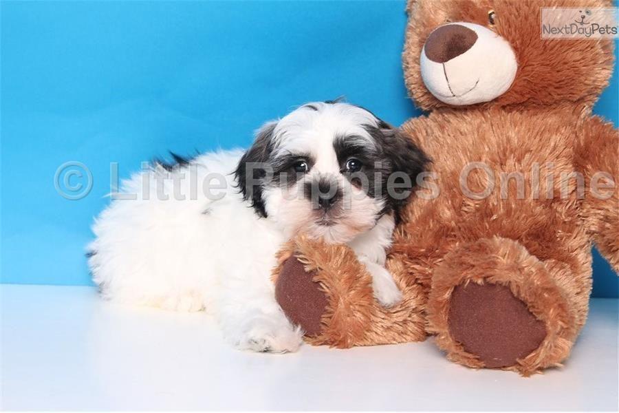 Izzie Female Teddy Bear Shichon Puppies Teddy Bear Shichon Puppies For Sale