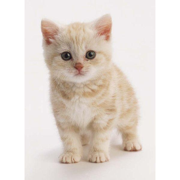 Sunpaw Thunderclan Apprentice Light Orange Kitten Cat Warriors The