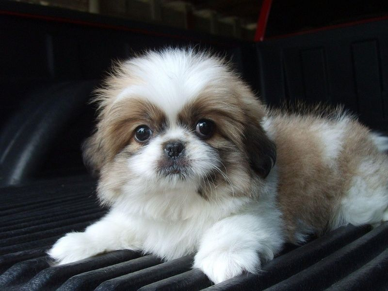 How To Trim Shih Tzu Tail Pekingese Puppies Shih Tzu Puppy Cute Dogs
