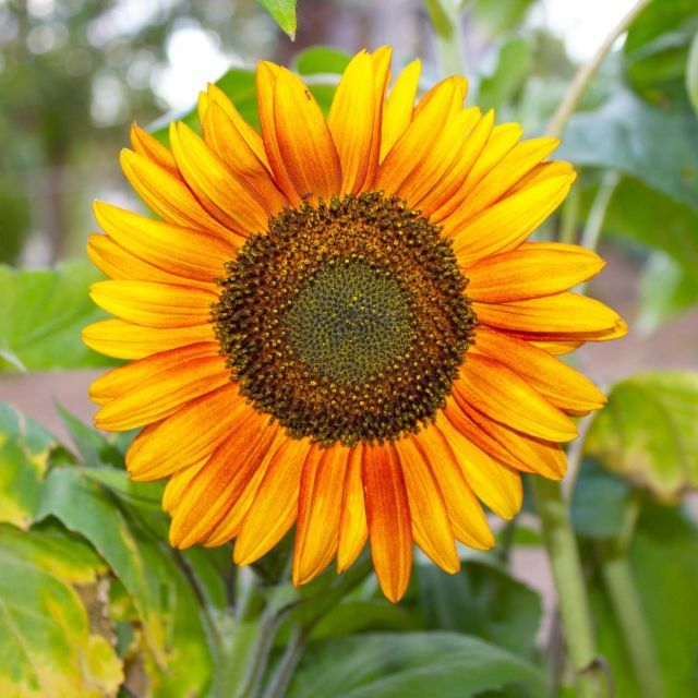 7 tips and tricks to get the most out of your sunflowers ...