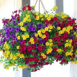 Calibrochoa calibrachoa trixi petunia basket stuffers - Calibrachoa trixi ...