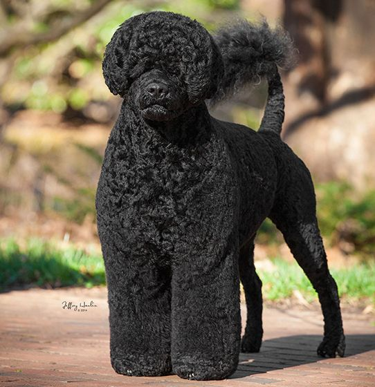 Will Ontario Born Portuguese Water Dog Matisse Take Best In Show
