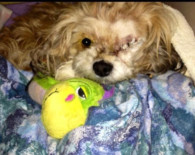 Adopt Oscar On Dog Adoption Shih Tzu Dog Dog Love