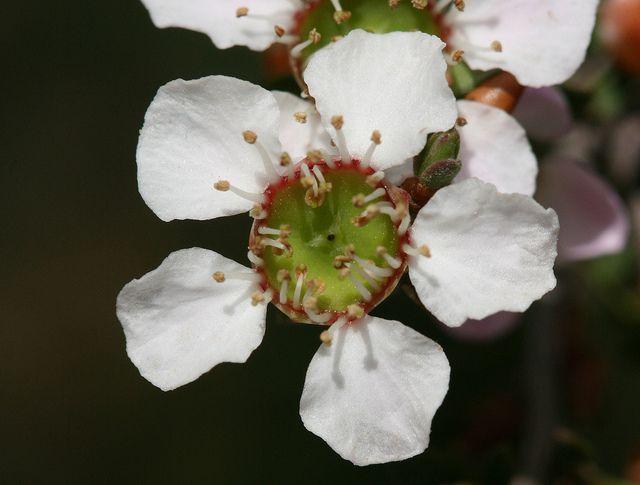 Heath Tea Tree Flower Tea Flowers Tea Tree