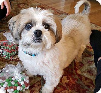 Toronto On Shih Tzu Mix Meet Wonka A Dog For Adoption Http