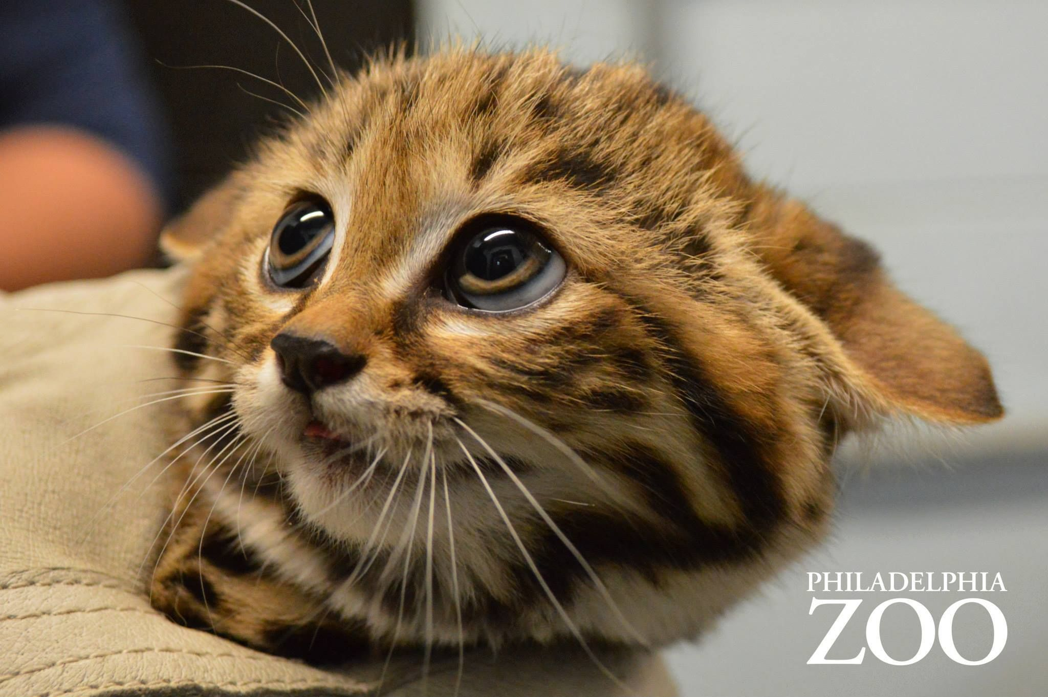 Philadelphia Zoo S Female Black Footed Cat Aza Gave Birth To A Litter Of Kittens On April 8 2014 The First Black Footed Cats Black Footed Cat Wild Cat Species Cute Baby Animals