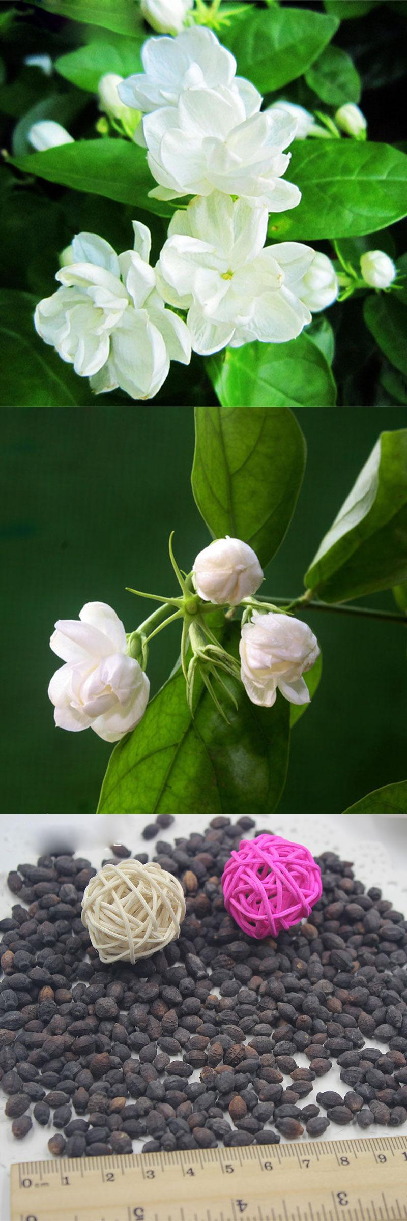 Visit to buy 20 pcsbag white jasmine seeds jasmine flower seeds visit to buy 20 pcsbag white jasmine seeds jasmine flower seeds fragrant izmirmasajfo