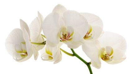 orchidee - Google Search