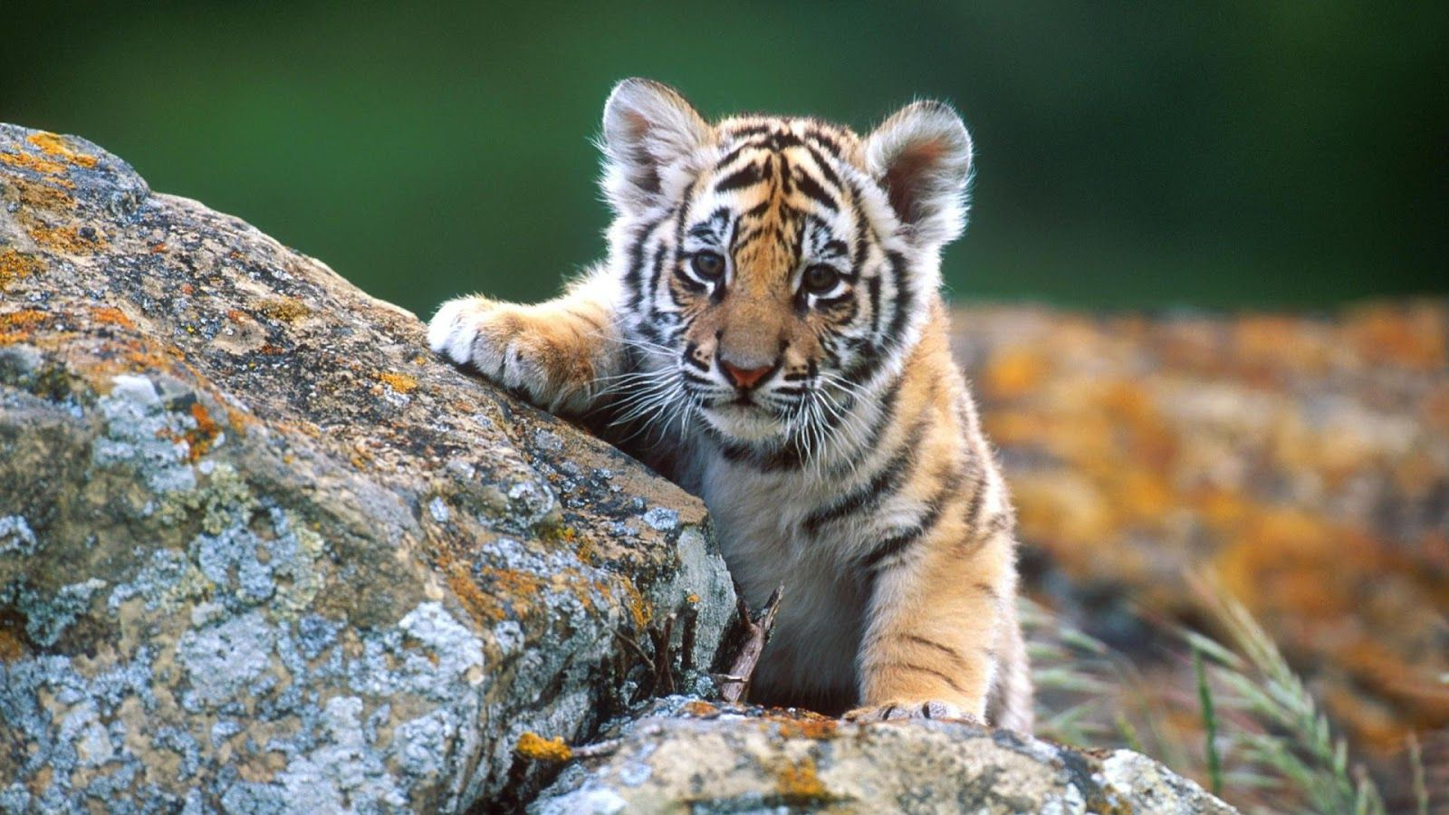Baby Animal HD Wallpaper Baby Animal Pictures New