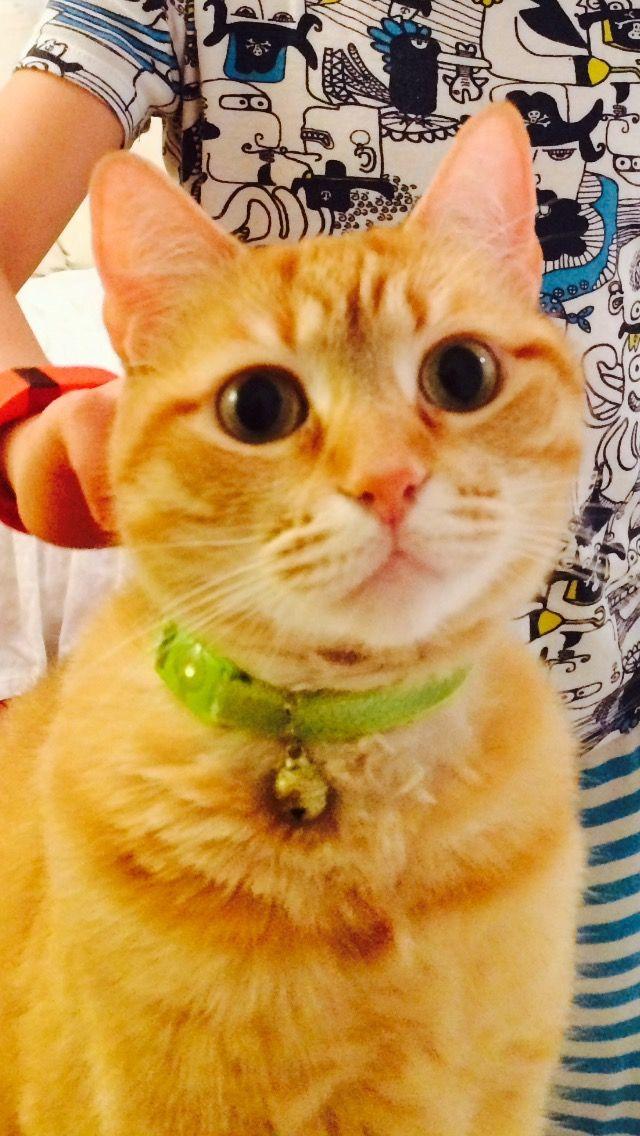 Purebred Scottish Fold Cat For Adoption In Houston Oskar 6 Yo Orange Tabby Female Cat Scottish Fold Cat Adoption Scottish Fold